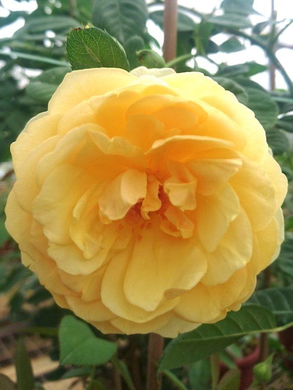 Rosa 'Graham Thomas' » Rose Plants