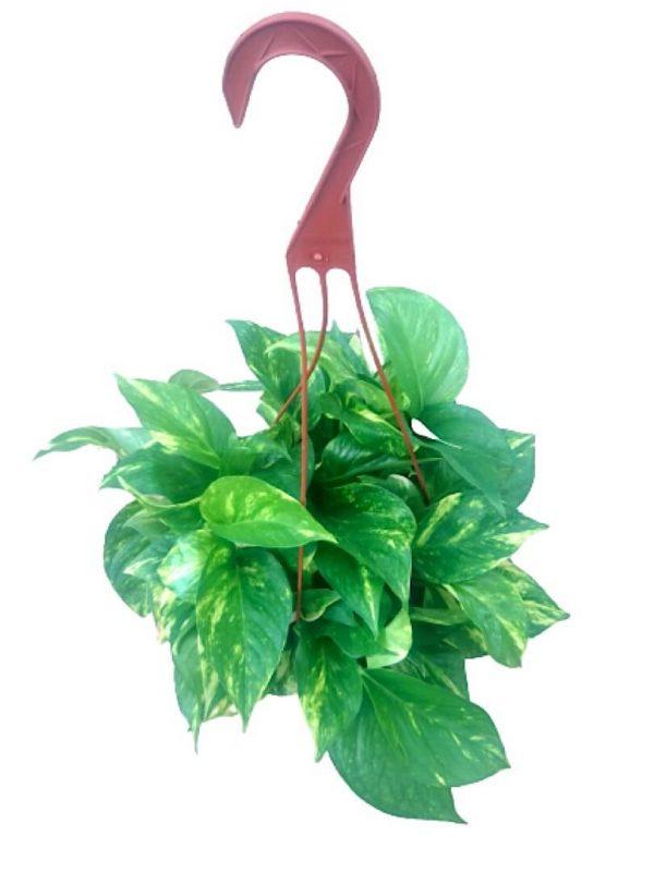 Hanging Money Plant » Foliage