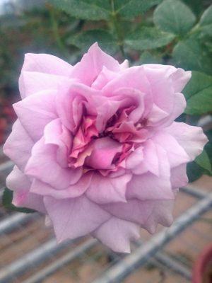 'Harlow Carr' Rose