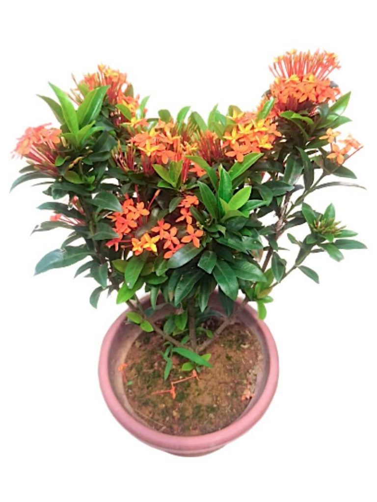 Ixora » Flowering Plants