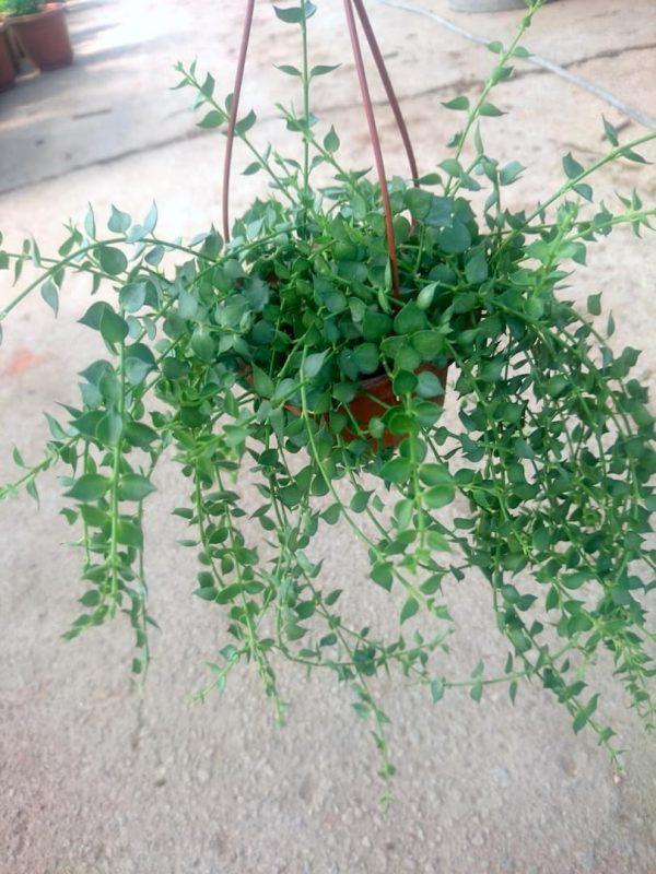 Hanging Million Hearts » Foliage
