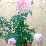 'Mon Coeur' Rose