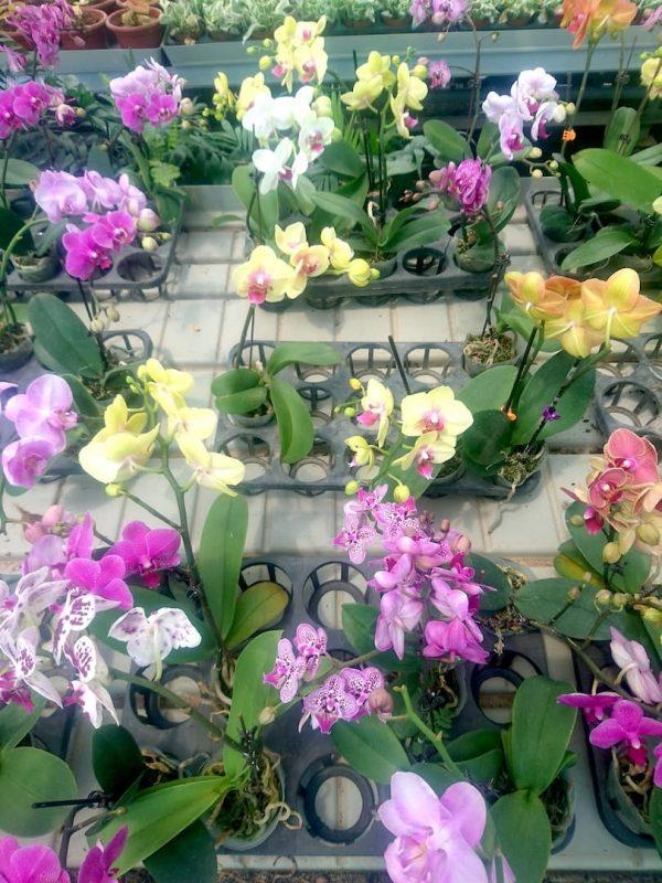 Phalaenopsis Moth Orchid Plants » Flowering Plants