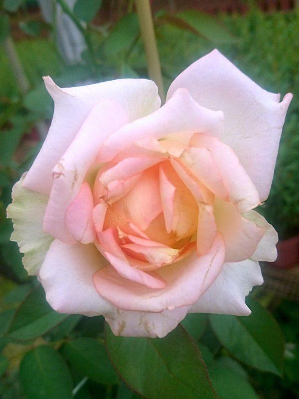'My Girl' Rose » Rose Plants