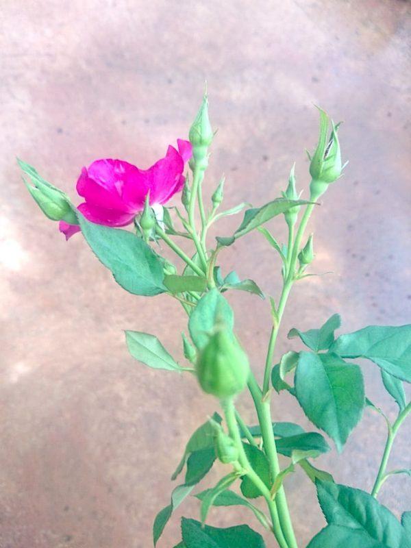 Rosa 'Night Owl' Buds » Rose Plants