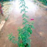 'Night Owl' Rose Plant » Rose Plants