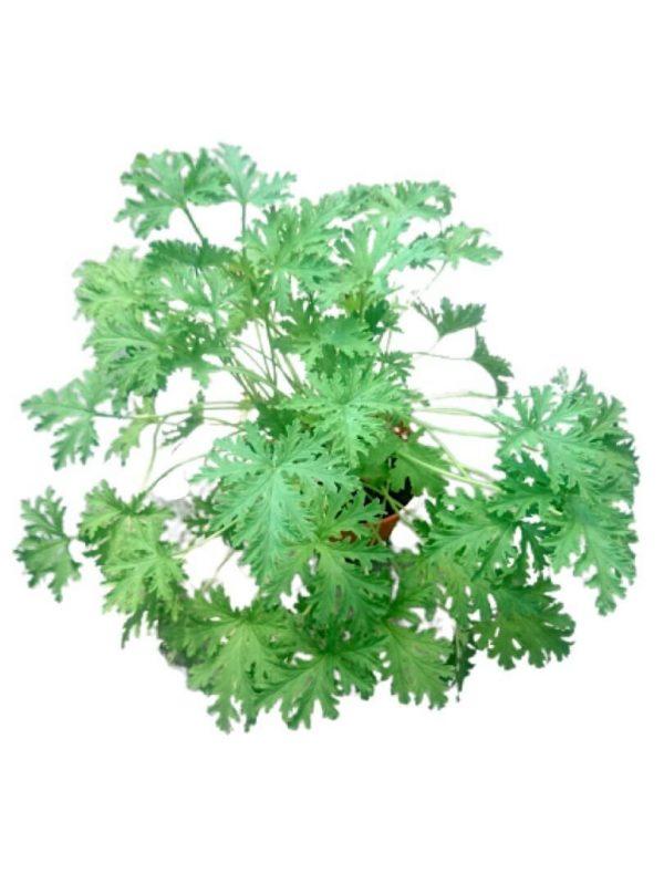 Pelargonium » Herbs 'n' Spices