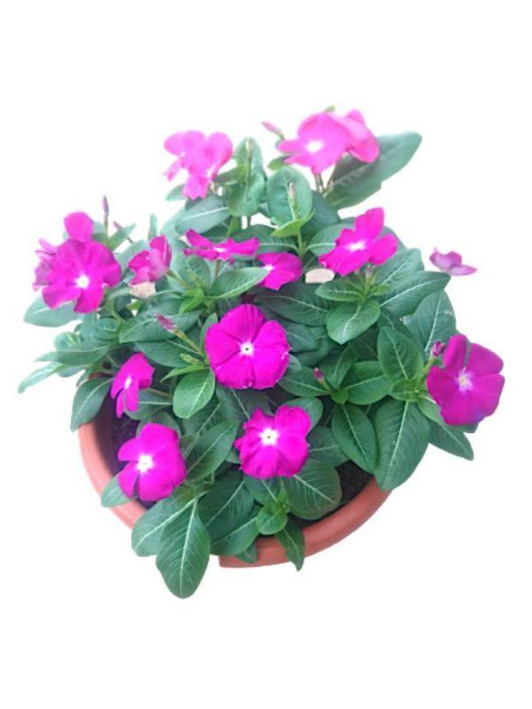 Periwinkle Vinca Single Colour » Flowering Plants