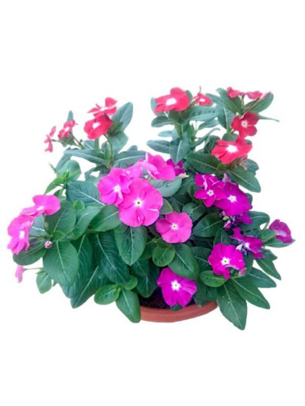 Periwinkle Vinca Tricolour » Flowering Plants