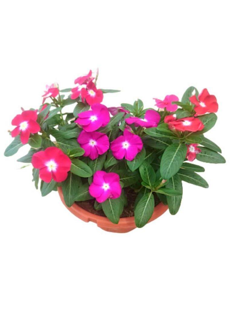 Periwinkle Vinca Bicolour » Flowering Plants