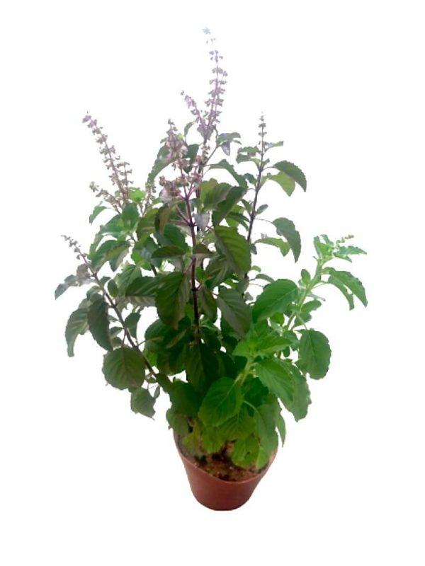 Purple Basil » Herbs 'n' Spices