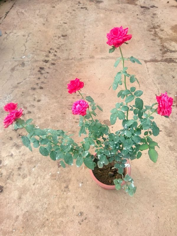 'Red Intuition' Rose Plant » Rose Plants