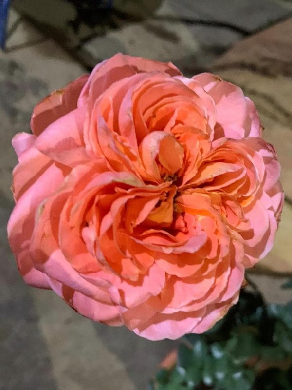 'Rene Goscinny' Rose » Rose Plants