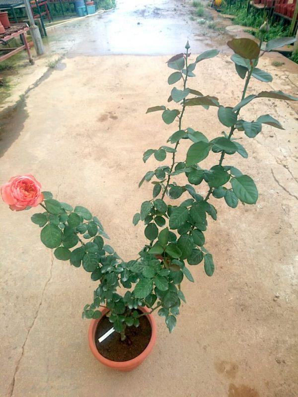 'Rene Goscinny' Rose Plant » Rose Plants