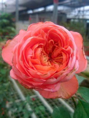 'René Goscinny' Rose