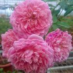 'Robe à la Française' Rose