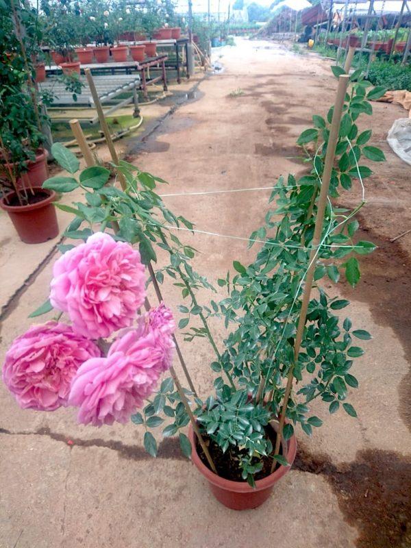 'Robe à la Française' Rose Plant » Rose Plants