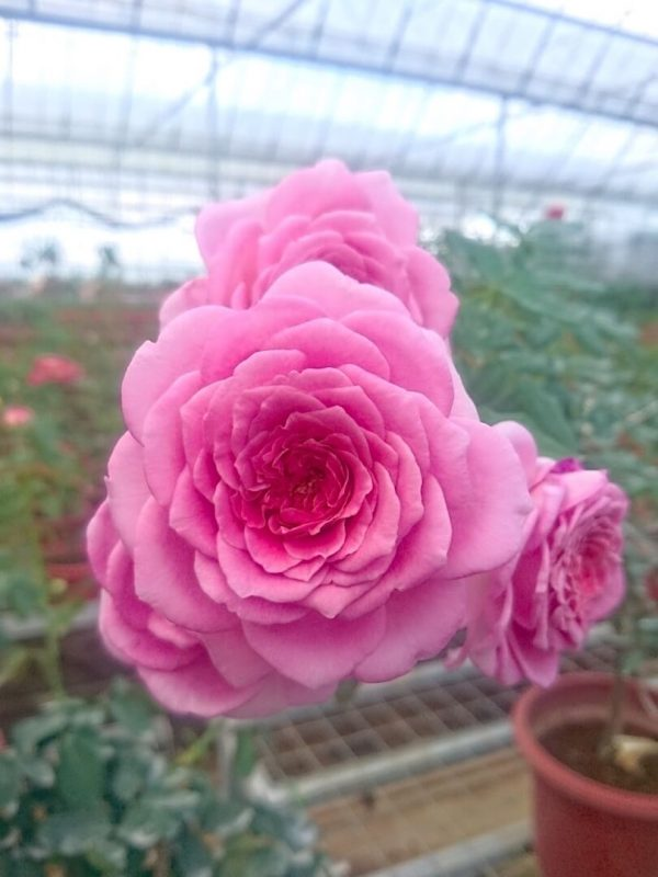 Japanese Roses 'Robe à la Française' » Rose Plants