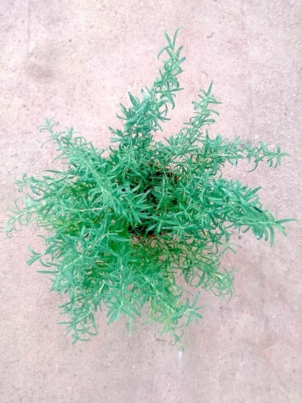 Rosemary Plant » Herbs 'n' Spices