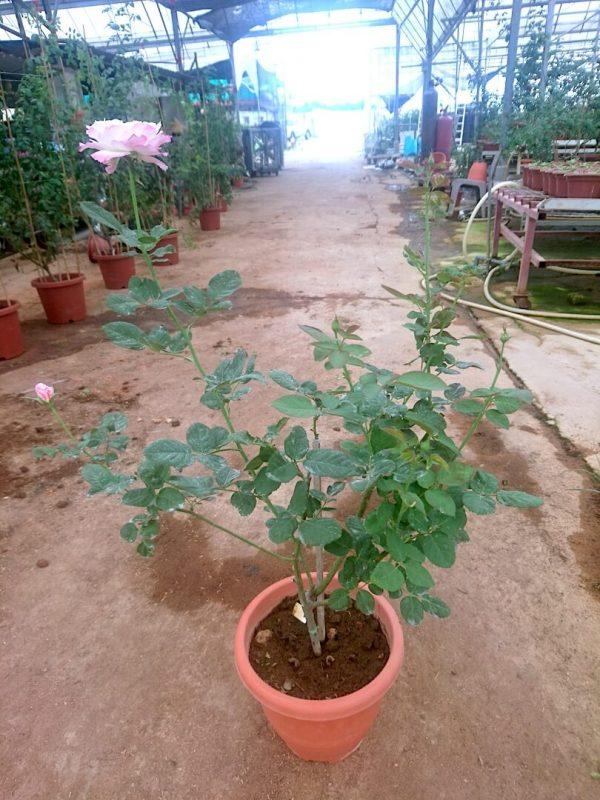 'Seraphim' Rose Plant » Rose Plants