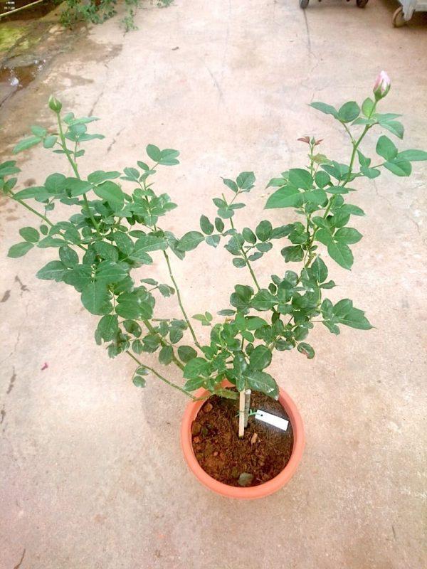 'Shinoburedo' Rose Plant » Rose Plants