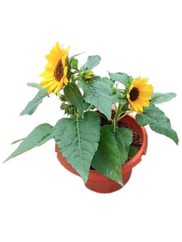 Sunflower » Flowering Plants
