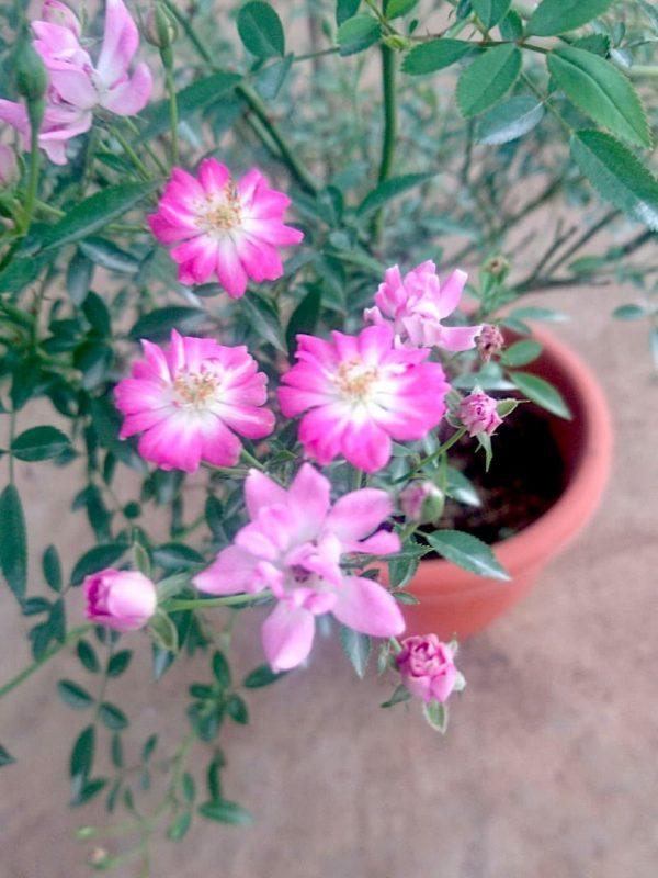 Japanese Roses 'Yame Tsuhime' » Rose Plants