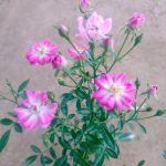 'Yame Tsuhime' Rose