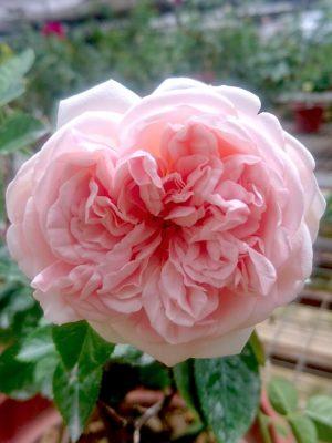 'Aphrodite' Rose