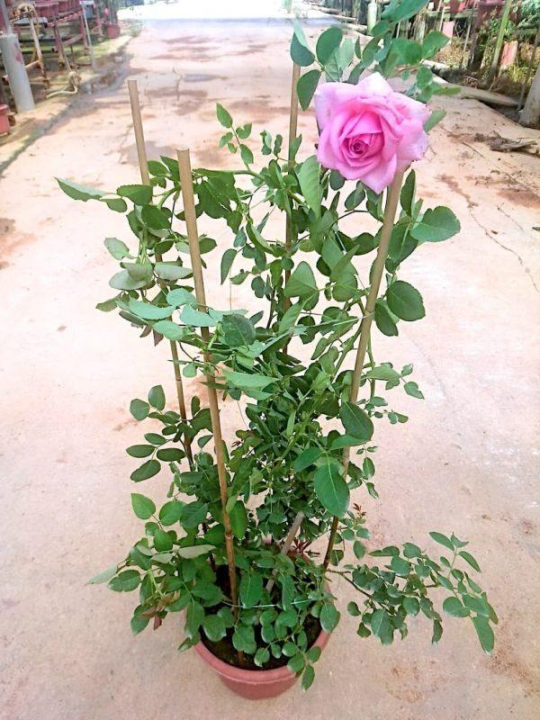 'Bienvenue' Rose Plant » Rose Plants