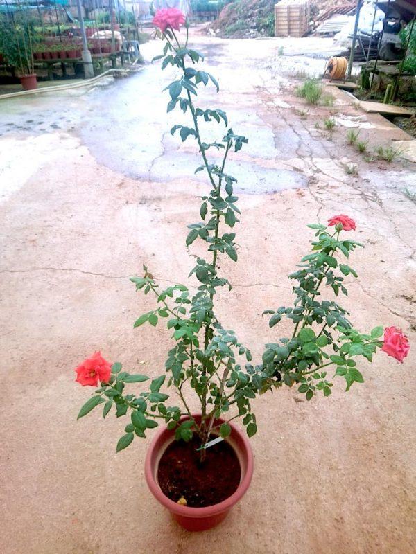'Black Tea' Rose Plant » Rose Plants