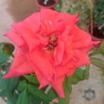 'Black Tea' Rose