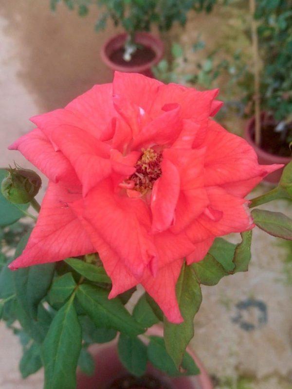 Rosa 'Black Tea' » Rose Plants