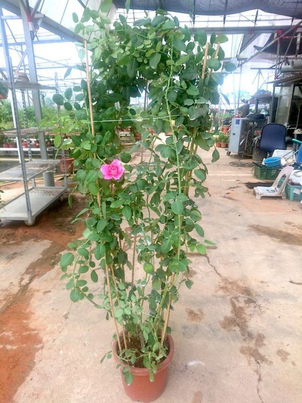 'Chulalongkorn' Rose Plant 1.9 m » Rose Plants