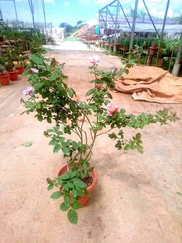 'Distant Drums' Rose Plant » Rose Plants