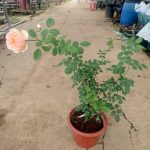 'Jude The Obscure' Rose Plant » Rose Plants