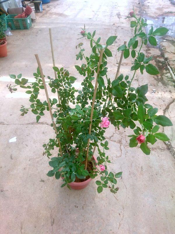 'La Rose de Molinard' Rose Plant » Rose Plants