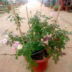 'Mini Eden' Rose Plant