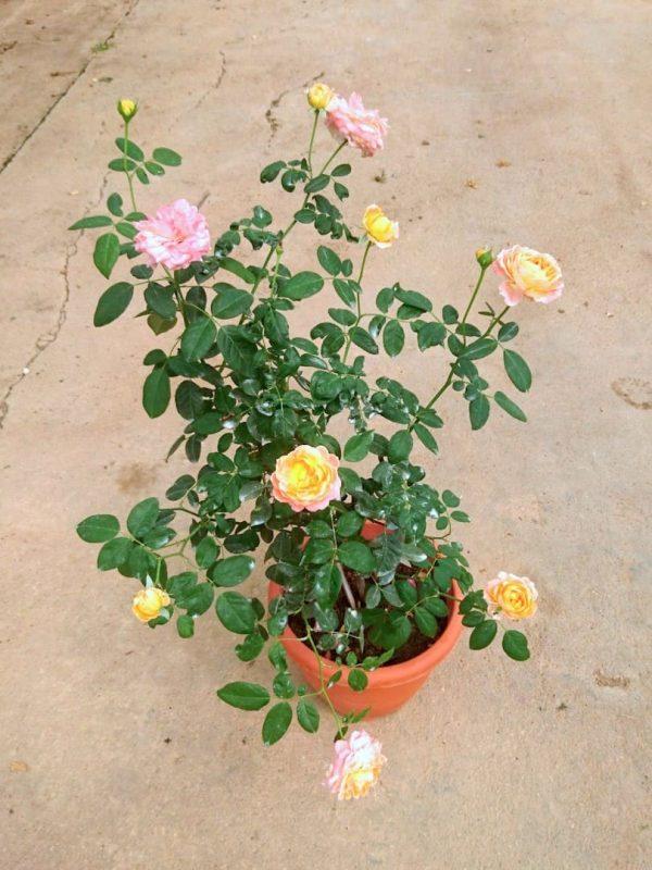'Mon Chou Chou' Rose » Rose Plants