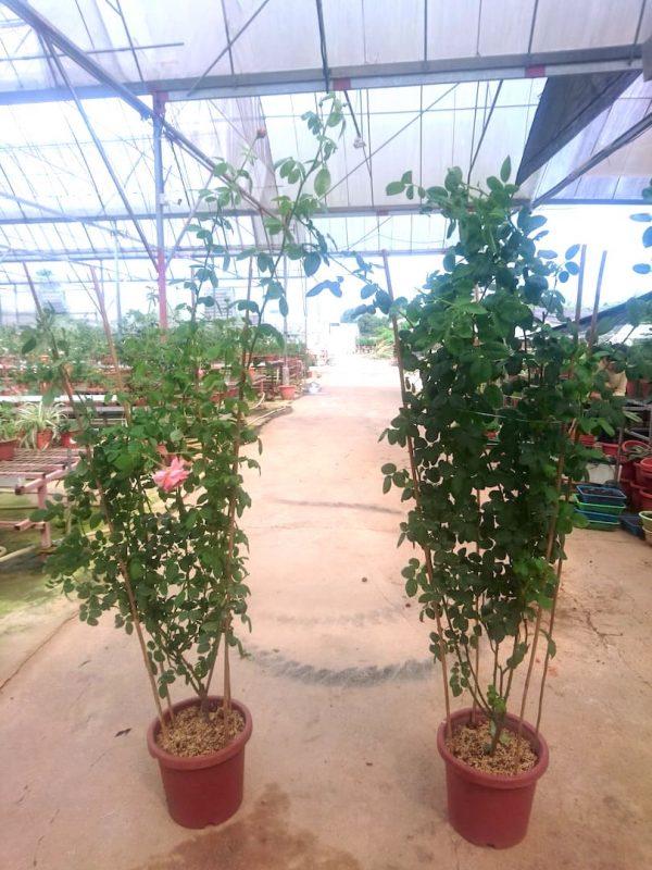 'Moulin de la Galette' Rose Plants » Rose Plants