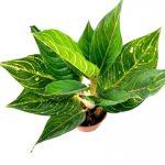 Philodendron Birkin