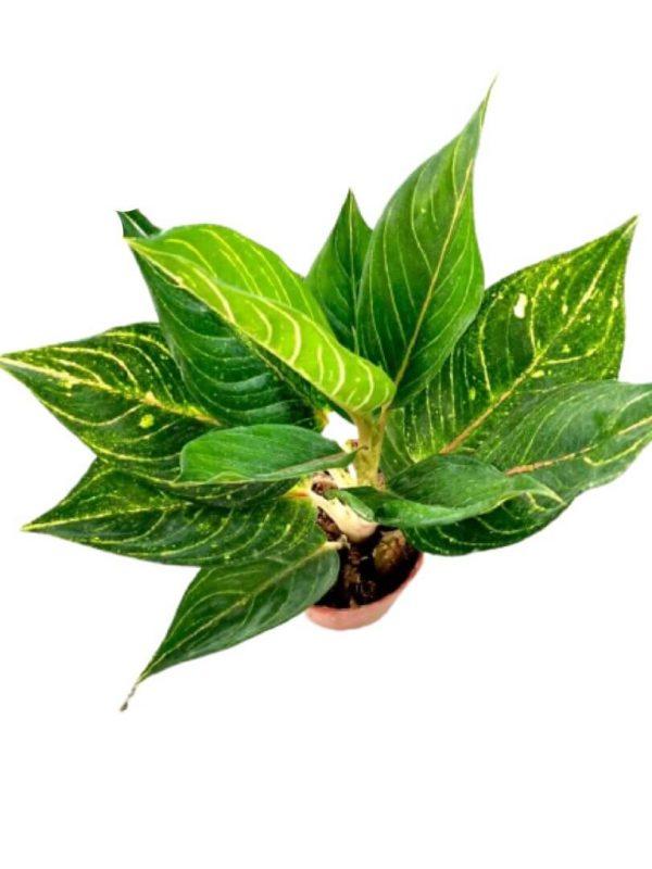 Philodendron Birkin » Foliage