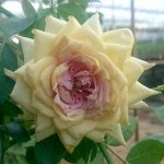 'Rose Robe d'Or'