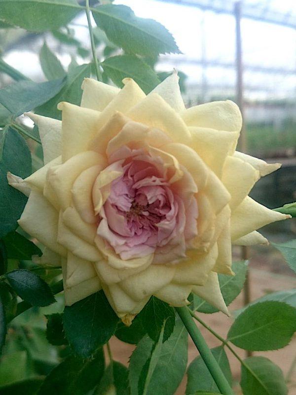 'Rose Robe d'Or' » Rose Plants