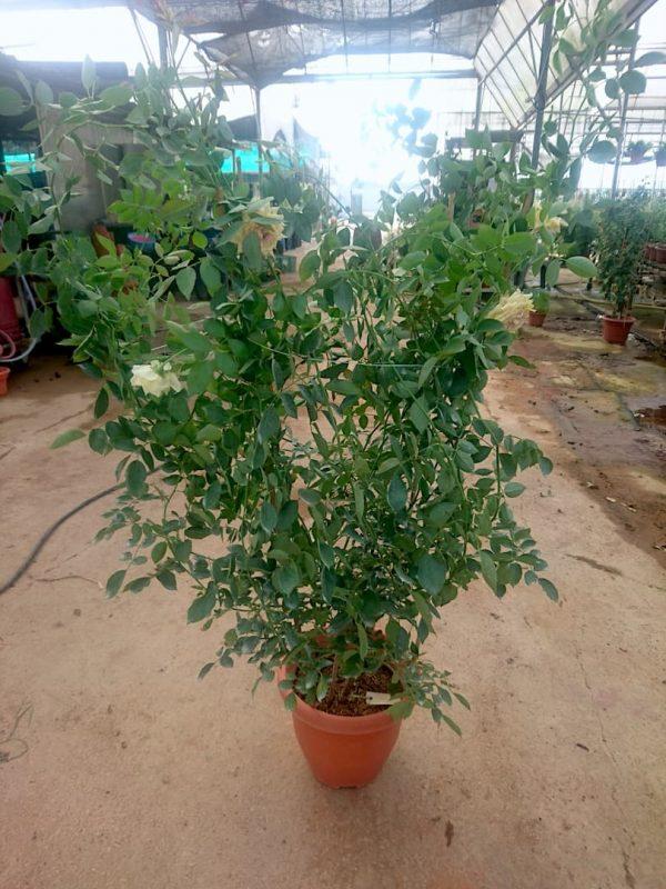 'Rose Robe d'Or' Rose Plant » Rose Plants