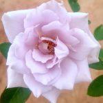 'SOU' Rose