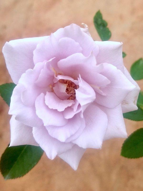 Japanese Rose 'SOU' » Rose Plants
