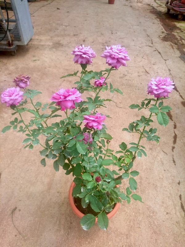 'Small Red Plum Juice' Rose Plant » Rose Plants