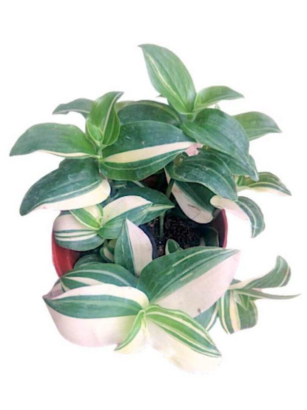 Tradescantia White » Exotic Foliage