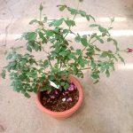 'Ventilo' Rose Plant » Rose Plants
